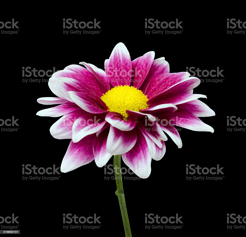 Purple Dahlia Flower With Yellow Center Isolated On Black Stock