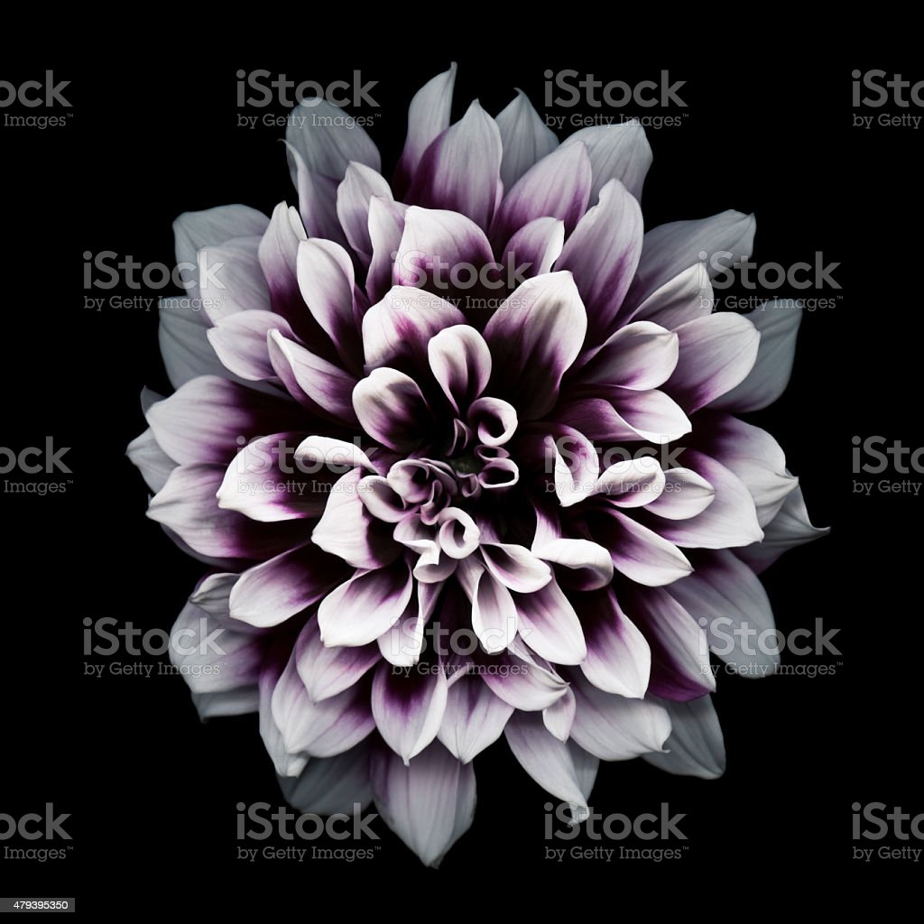 XXXL: Purple dahlia isolated on black stock photo