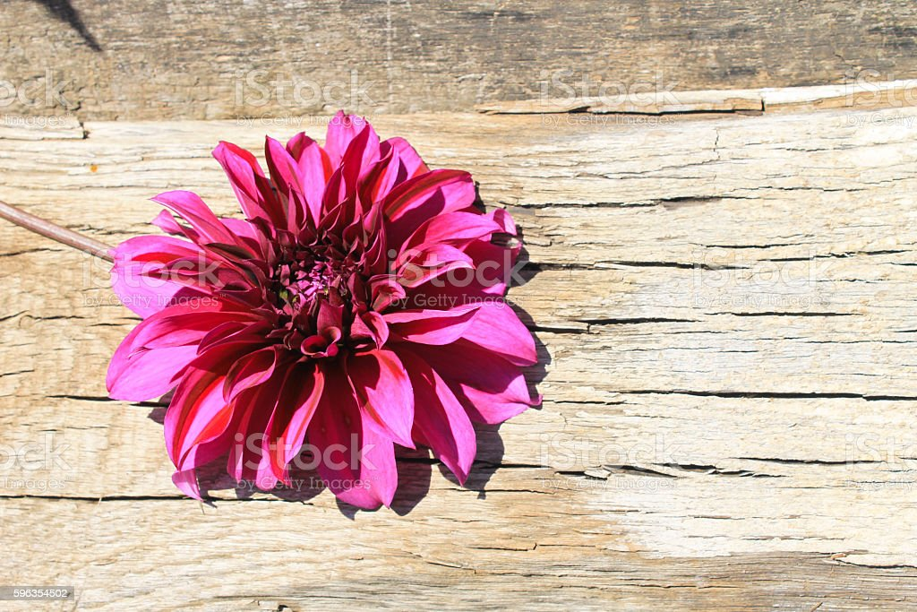 Purple dahlia on the wooden background royalty-free stock photo
