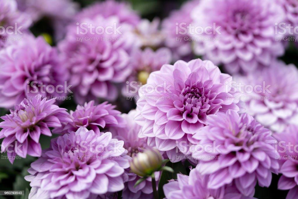 purple dahlias are blooming under sunlight stock photo