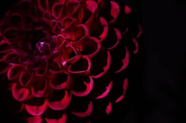 Purple dahlias flower over black background deep red autumn flower picture id1046590640?b=1&k=6&m=1046590640&s=612x612&w=0&h=hr673l7hthzcudssksbj2jdfex nrlca em1ehvl4ee=
