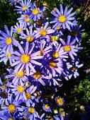 Purple daisies on the garden