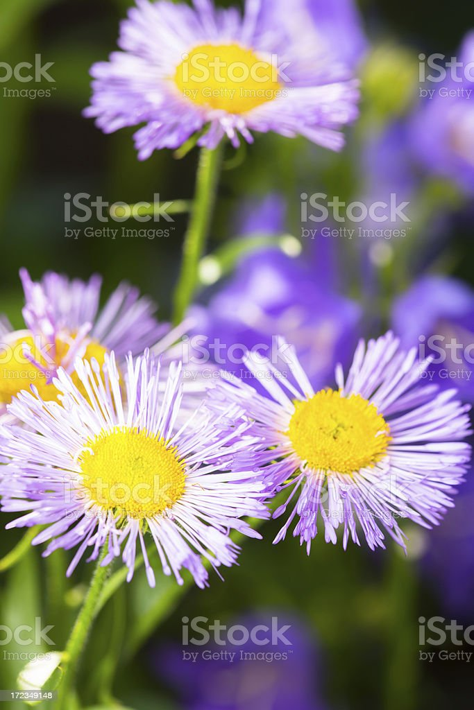 Purple daisies-Purple Erigeron royalty-free stock photo
