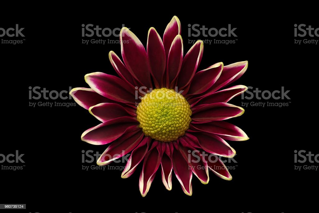 Purple Daisy Chrysanthemum displayed on Black. stock photo