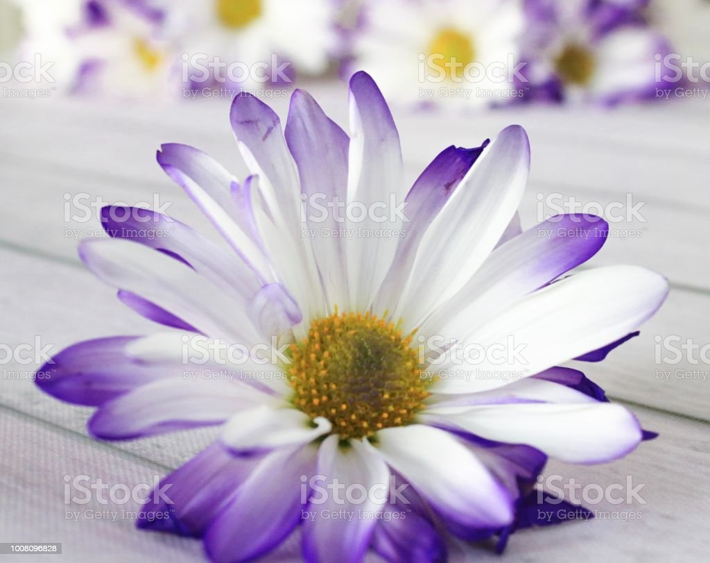 Purple daisy flowers stock photo more pictures of beauty istock purple daisy flowers royalty free stock photo izmirmasajfo