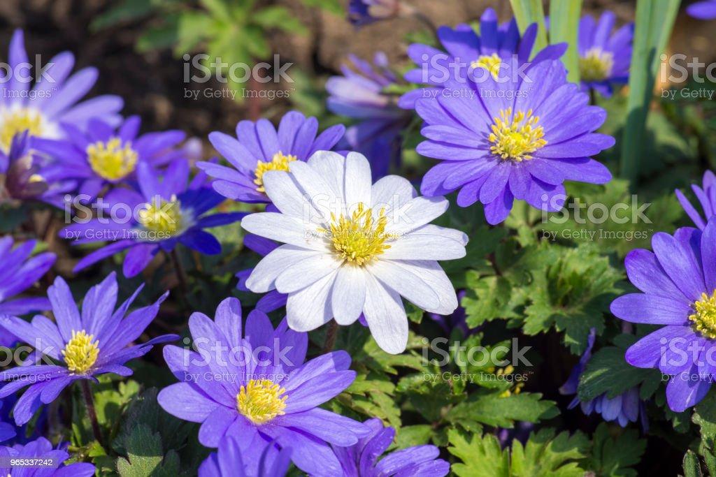 퍼플 데이지 꽃 - 로열티 프리 0명 스톡 사진