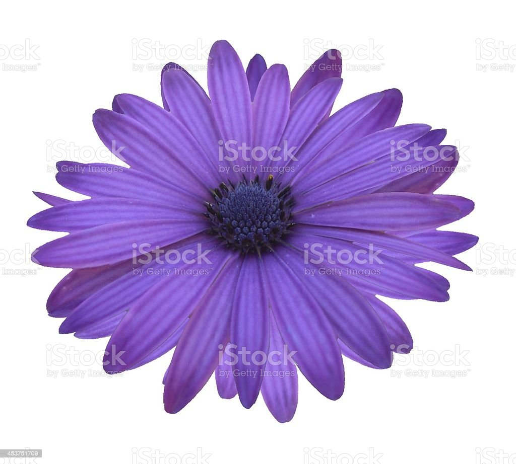 Purple Daisy Isolated on White stock photo