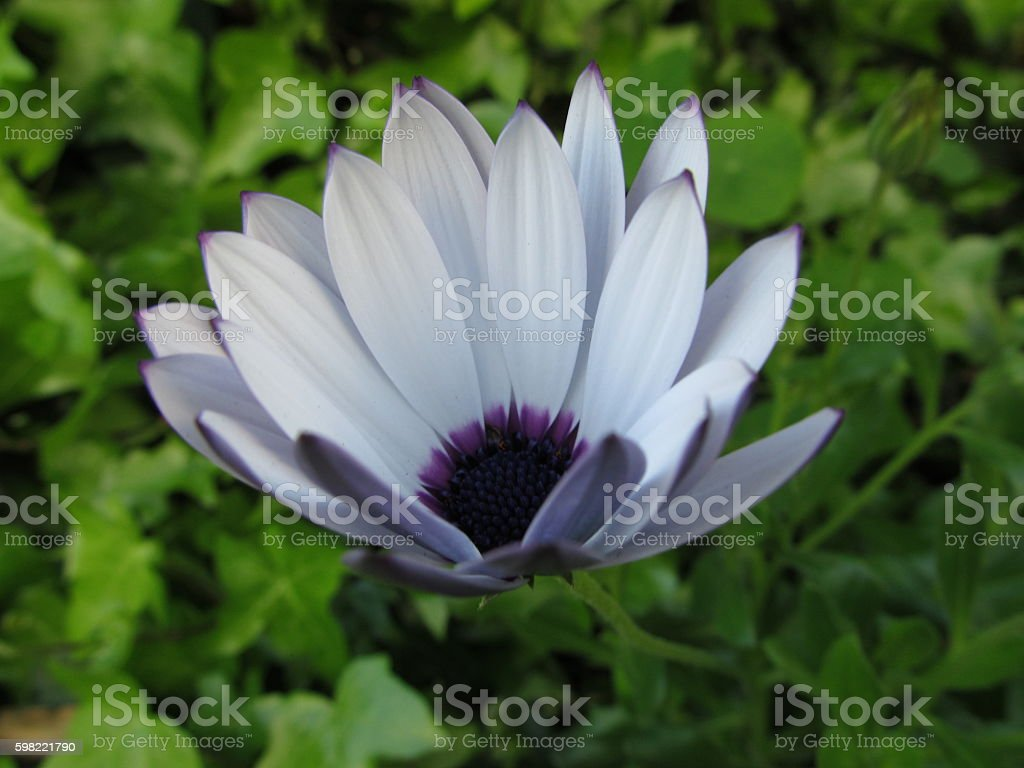 Purple Daisy Macro foto royalty-free