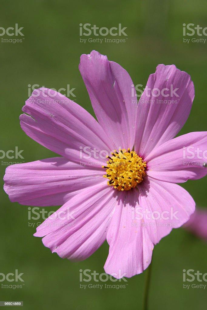 Purple daisy royalty-free stock photo