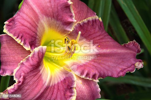 Closeup of colorful daylily blossom (Hemerocallis) with vibrant purple petals and contrasting light-yellow edges. Pistil and pollen-bearing stamens extend outward from yellow throat of flower.