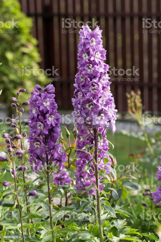 Purple Delphinium Flower in Garden royalty-free stock photo