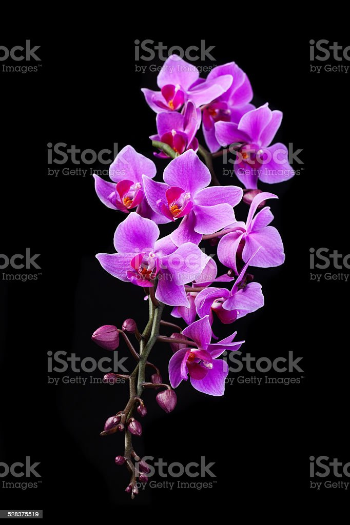 purple Dendrobium orchid in black background stock photo