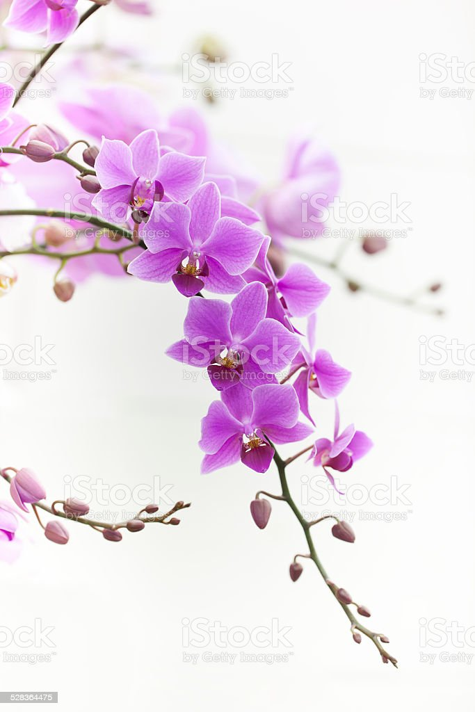purple Dendrobium orchid with soft light stock photo