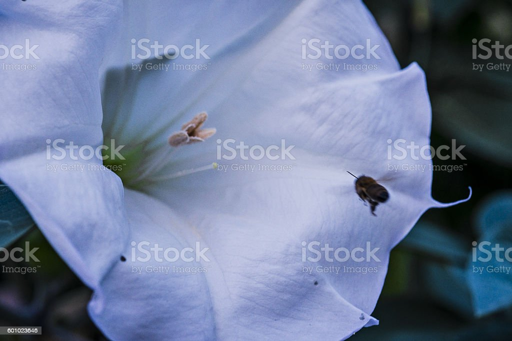 Purple 'Devil's Trumpet' flower stock photo