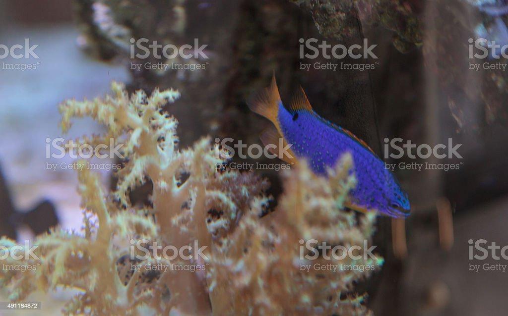Purple dottyback, Pneudochromis stock photo