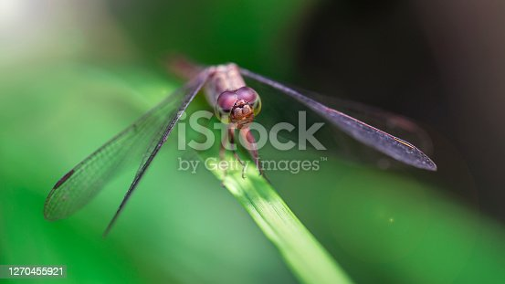 closeup of a dragonfly landed on a leaf, Koh Phayam, Thailand