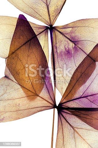 istock Purple dried flowers -  clover    Oxalis triangularis 1288086337