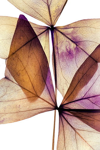 Purple dried flowers -  clover    Oxalis triangularis -from sweden nature