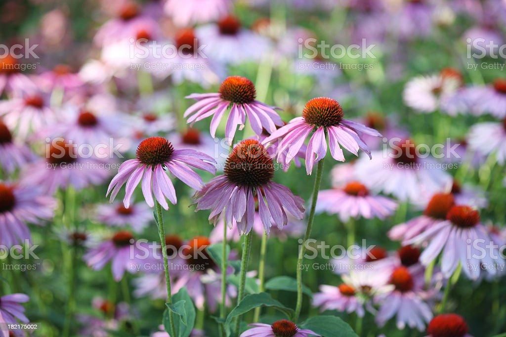 Purple Echinacea stock photo
