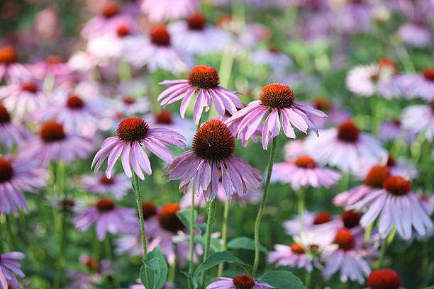 Purple Echinacea Flower bed of Purple Echinacea (coneflower).  perennial stock pictures, royalty-free photos & images