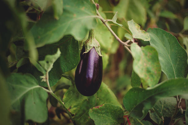 paars aubergine teelt in de groententuin - aubergine stockfoto's en -beelden