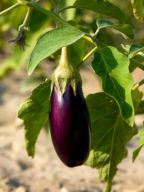 a purple eggplant still on its vine - aubergine stockfoto's en -beelden