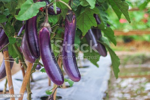 Purple eggplants group hanging on tree in organic vegetable farm