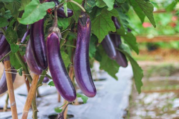 paarse aubergines groep opknoping op boom in biologische plantaardige boerderij - aubergine stockfoto's en -beelden