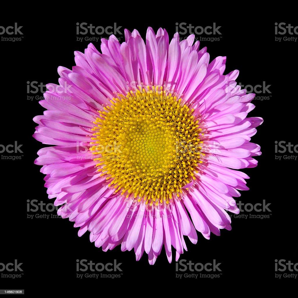 daisy flower plant single flower wallpaper decor