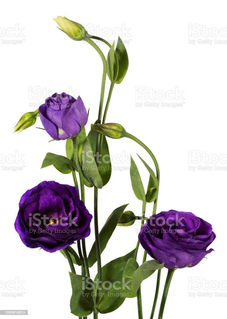 Purple eustoma flowers (prairie gentian) isolated on white background. stock photo