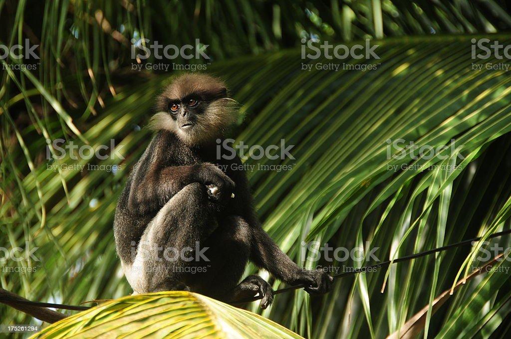 Purple faced leaf langur monkey, Galle, Sri Lanka. stock photo