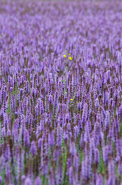 purple field of Agastache with one yellow flower stock photo