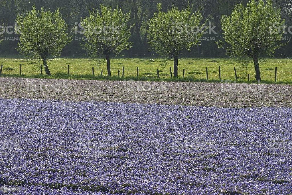 Purple field royalty-free stock photo