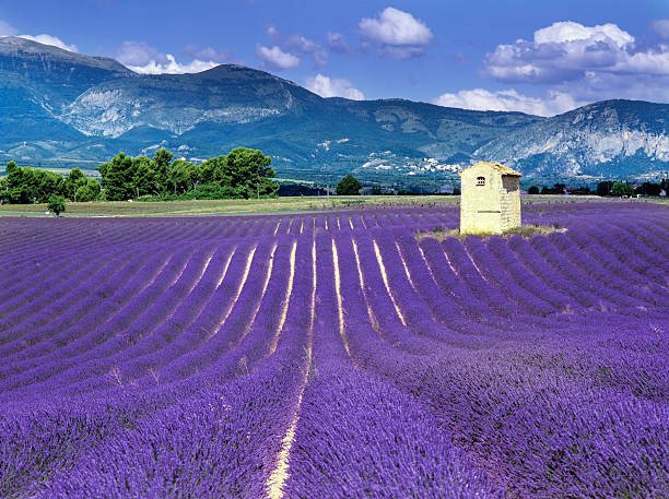 Purple fields in France with mountains behind france provence drome LAVENDER fields plateau de valensole region provence alpes du de haute provence provence alpes cote d'azur stock pictures, royalty-free photos & images