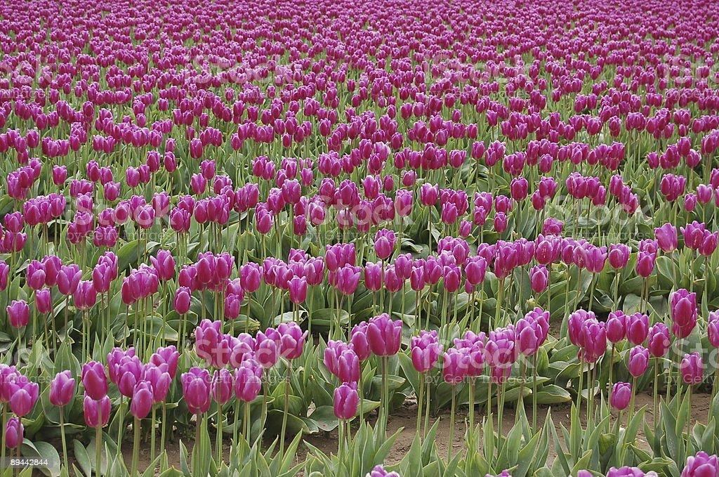 purple fields royalty-free stock photo
