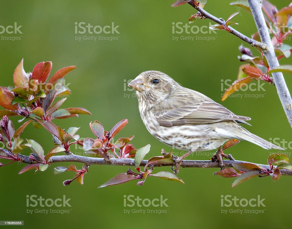 Purple Finch - Female royalty-free stock photo
