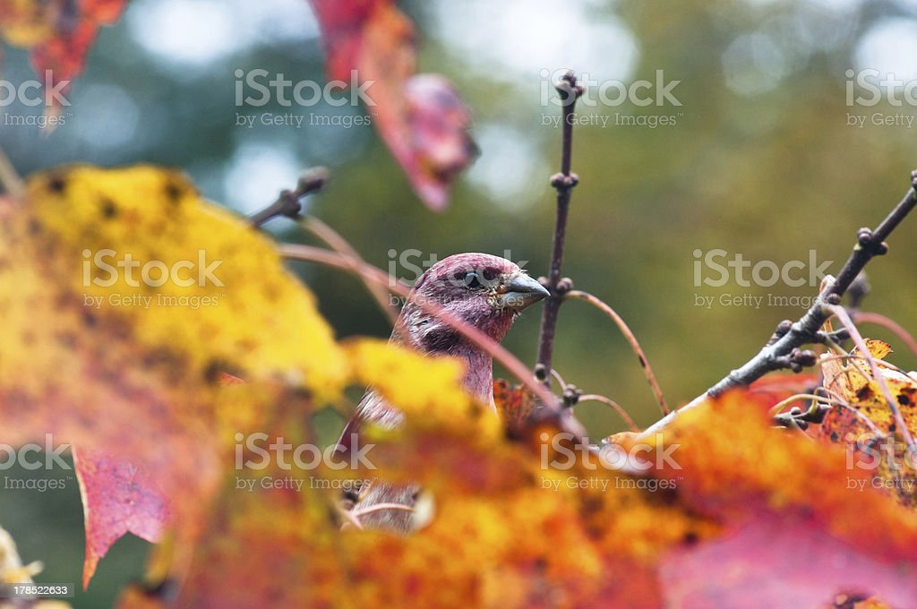 Purple finch hiding in fall foliage royalty-free stock photo