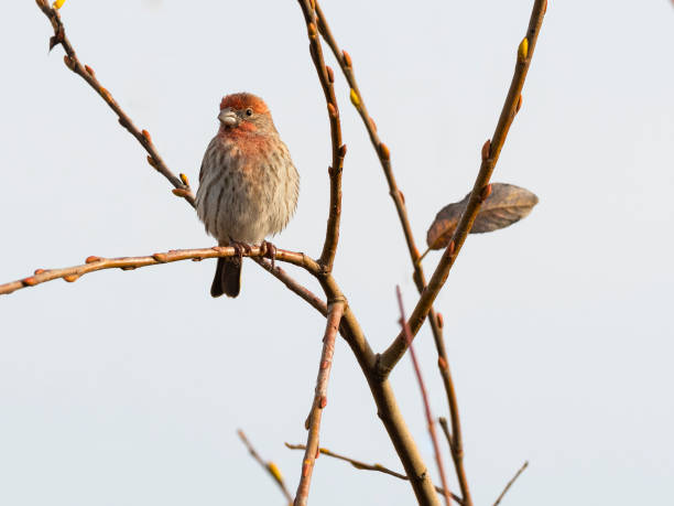 Purple finch Perched on Tree Branch Oregon Wild Bird stock photo