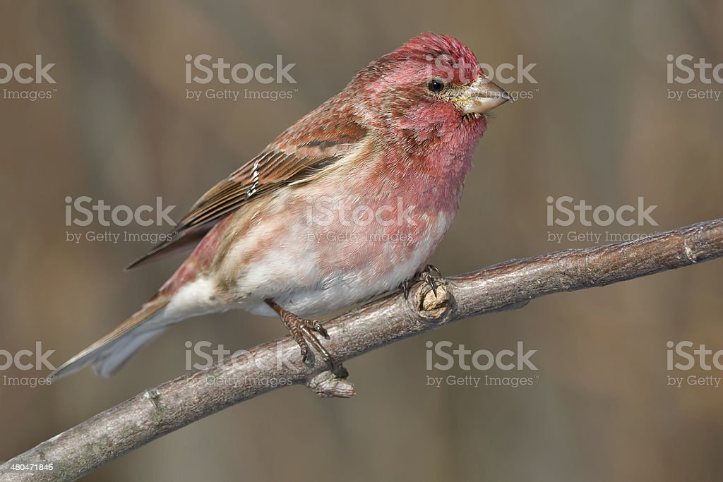 Purple Finch royalty-free stock photo