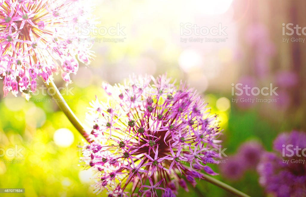 Purple flower at the meadow in summer stock photo