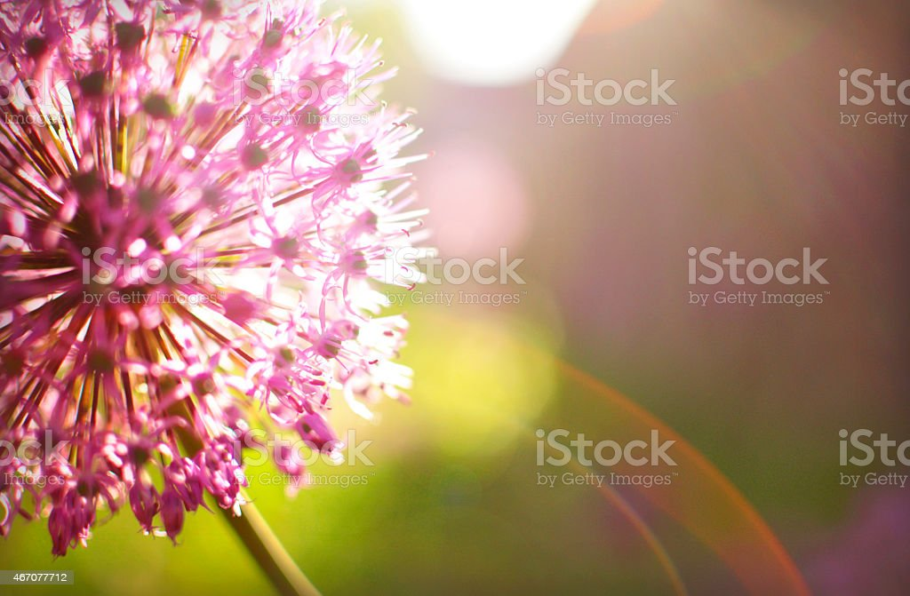 Purple flower at the meadow in summer. stock photo