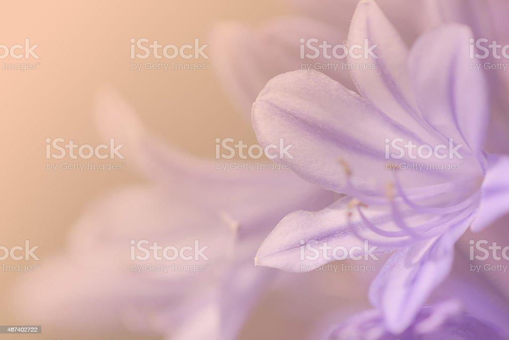 Fondo de flor púrpura. - foto de stock