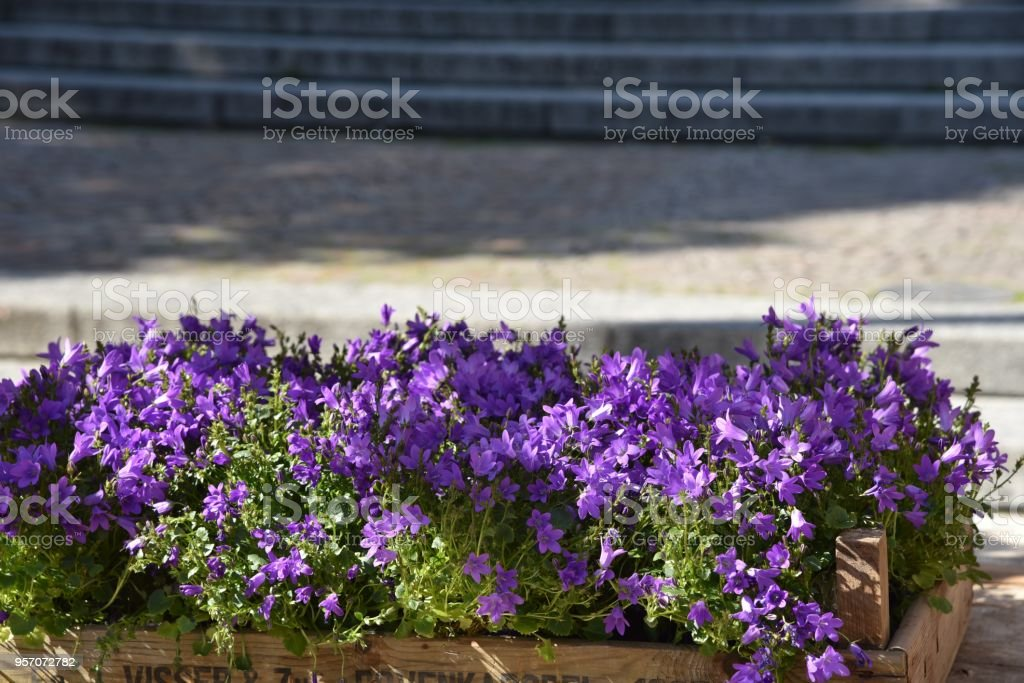 Aiuola Di Fiori Viola Stock Photo Download Image Now Istock
