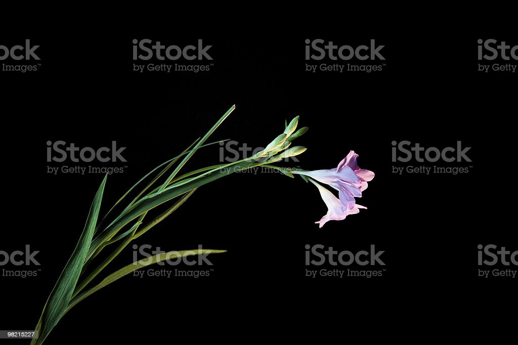 Purple Flower  Bent Under Stress royalty-free stock photo