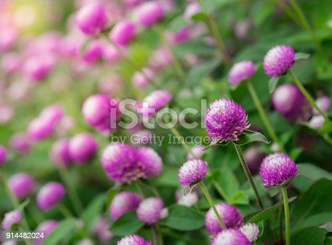 Purple flower blooming, Everlasting, Gomphrena