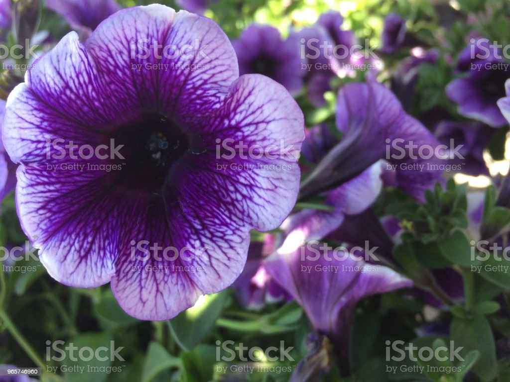 Purple Flower Blooms - Royalty-free Beauty In Nature Stock Photo