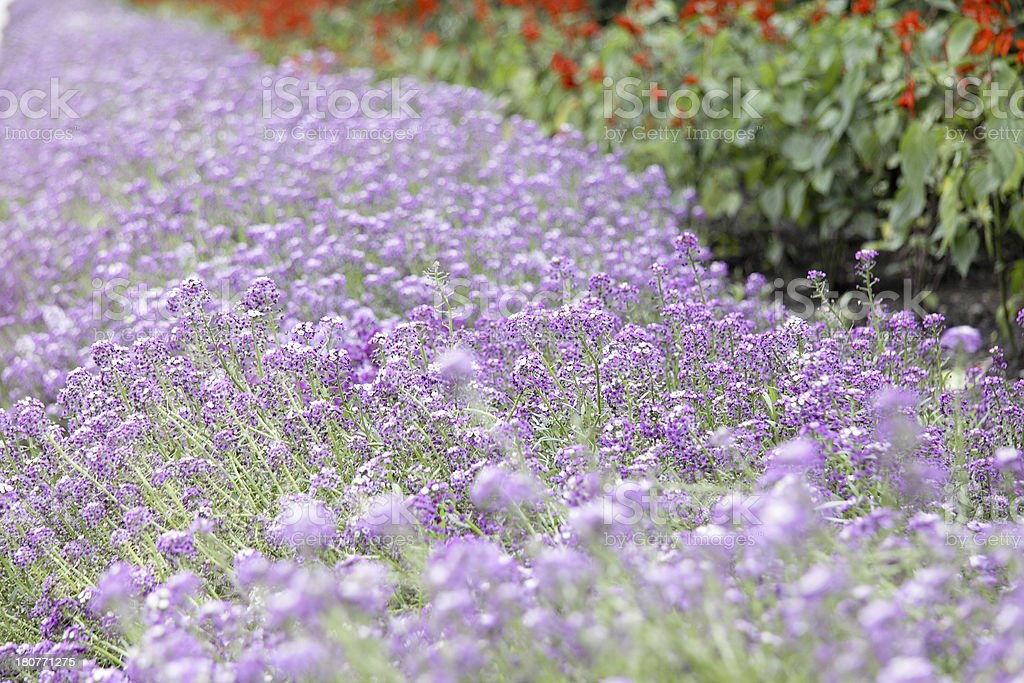 Purple flower carpet background royalty-free stock photo