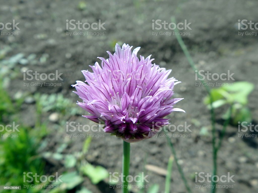 Ciboulette fleur pourpre dans le jardin de printemps - Photo de Ail - Liliacées libre de droits