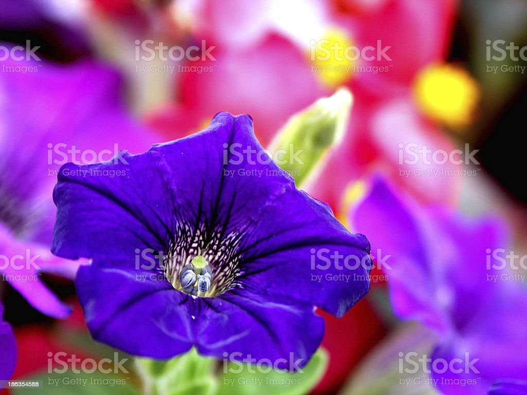 Purple Flower Closeup stock photo