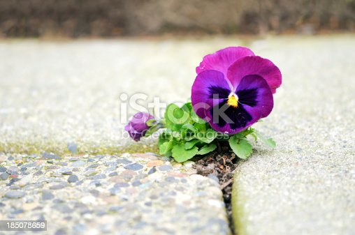 Closeup and selective focus on a slightly battered pansy flower blooming in a small crack of a sidewalk.More like this:
